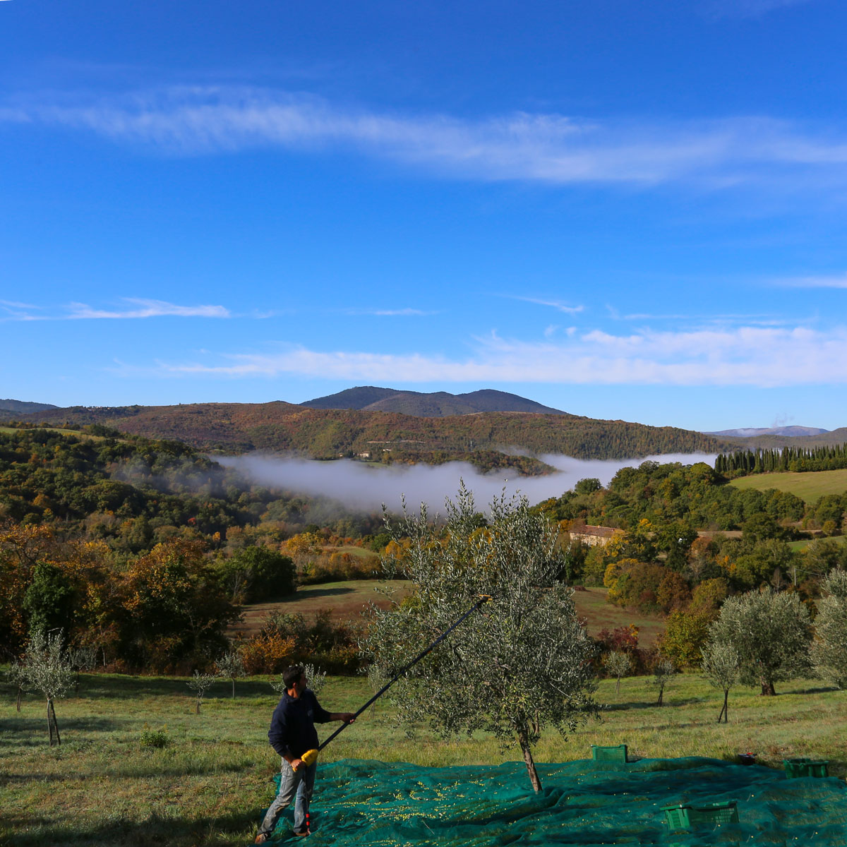 Il team de La Fornace de' Medici alle porte del Mugello raccoglie le olive in mezzo alle colline incontaminate della campagna fiorentina